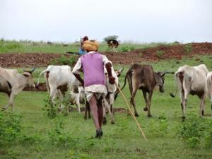 A herder taking his cows away from the enclosed pasture area in Rajasthan.