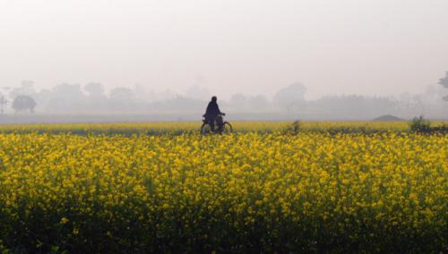 Indian Mustard (from Rape Seed Mustard Family) has more than 65 different varieties. Source: Abhijit Kar Gupta/Wikicommons