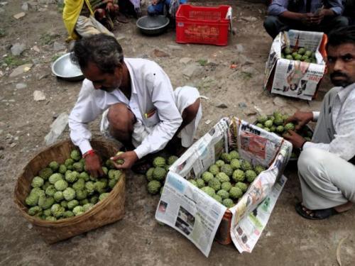 Villagers packing Sitaphal (sweet apple) in Udaipur district, Rajasthan.