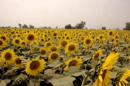 Sunflowers grown using sewage waste.